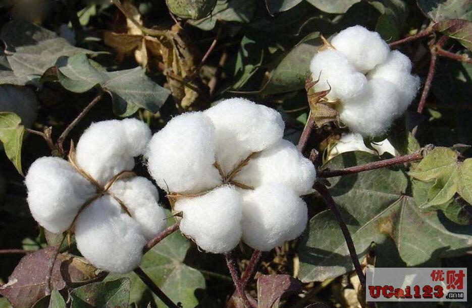 棉花备耕春播来了,2019年该如何做到棉花期货的预知工作?
